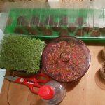 Kresse, Sproßensaat in der Keimdose und Tomaten und Chili im Anzucht-Gewächshäuschen