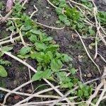 Junge Spinatpflanzen in Reihen