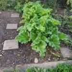 Beet 1 Rhabarber 150x150 - Gemüsebeet planen für Mischkulturen - gartenpraxis, gartenplanung, aktuell