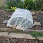 Beet 3 Kohl und Salat 150x150 - Gemüsebeet planen für Mischkulturen - gartenpraxis, gartenplanung, aktuell