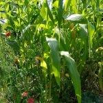Blick in das Mais-Beet