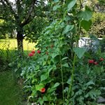 Stangenbohnen mit Mohnblumen