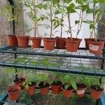 Zimmergewaechshaus Tomaten Paprika Chili 150x150 - Gemüsebeet planen für Mischkulturen - gartenpraxis, gartenplanung, aktuell
