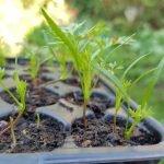 Möhren Pflanzen in Pflanztöpfen