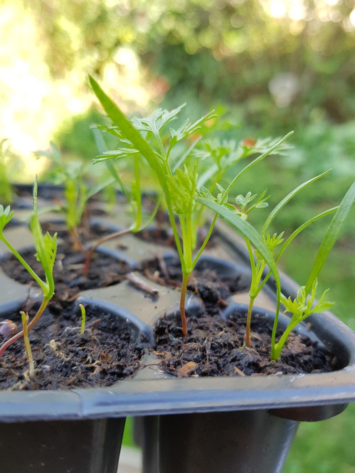 Lieblings Möhren pflanzen statt säen - wie geht das? | Gartenblog #GJ_24