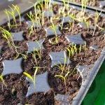 wp 15240575608951671251653 150x150 - Möhren pflanzen statt säen - wie geht das? - gartenpraxis, gartenplanung, aktuell