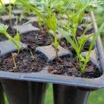 Die Möhren Pflanzen sind zwischen 3 und 5 cm