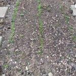 05 spinat pastinake 20180426 174902 150x150 - Gemüsebeet planen für Mischkulturen - gartenpraxis, gartenplanung, aktuell