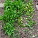 Beet mit Spinatpflanzen