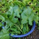 07 winterspinaternte 2018 150x150 - Gemüsebeet planen für Mischkulturen - gartenpraxis, gartenplanung, aktuell