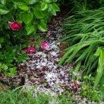 Hagel im Garten Mai 2018 xx 20180515 185711 150x150 - Gartentagebuch 1. Halbjahr 2018 - gartentagebuch-2018