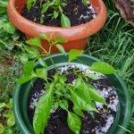 Hagel im Garten Mai 2018 xx 20180515 190048 150x150 - Gartentagebuch 1. Halbjahr 2018 - gartentagebuch-2018