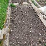 bc kartoffeln 20180426 174711 150x150 - Gemüsebeet planen für Mischkulturen - gartenpraxis, gartenplanung, aktuell