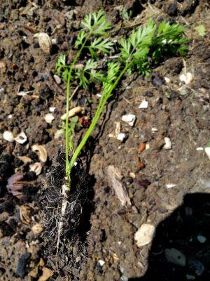 Die vorgezogene und gepflanzte Möhre liegt auf dem Gartenboden