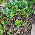mais kohlrabi 20180523 063506 150x150 - Gemüsebeet planen für Mischkulturen - gartenpraxis, gartenplanung, aktuell