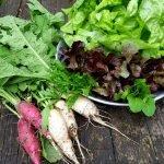 Die Salaternte am Gartentisch ausgebreitet