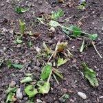 Nahaufnahme: Beet mit Gemüseresten