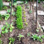 stangenbohnen rucola schnittsalat 20180523 063554 150x150 - Gemüsebeet planen für Mischkulturen - gartenpraxis, gartenplanung, aktuell