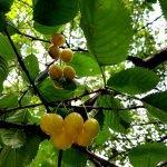 Blick von unten in die gelben Kirschen am Baum
