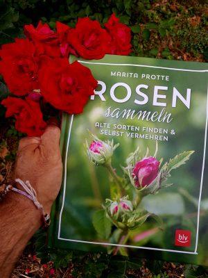 """Das Buch """"Rosen sammeln"""" in einen Rosenbusch gehalten"""