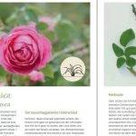 """Seite aus """"Alte Rosen sammeln"""""""