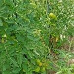 Tomatenstauden im Beet