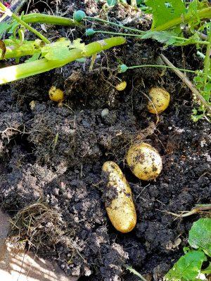 Frühe Kartoffel Annabelle - Vorkeimen, Anhäufeln, Ernten