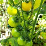 Eine schöne Traube von der Die Open-Source-Tomate Sunviva