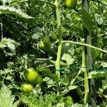 Viele noch grüne Tomaten