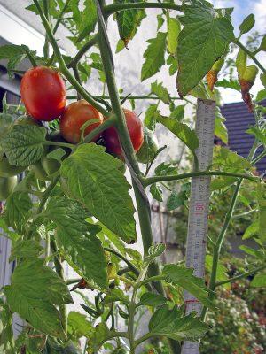 Tomatenpflanze mit 2m-Stab