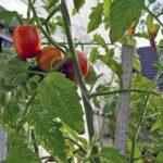 Tomatenpflanze mit roten Tomaten mit 2m-Messlatte