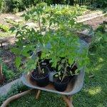 Tomaten, Braunfäule resistent auf einem Schubkarren