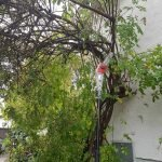 Elektro Astsäge lehnt an dem großen Rosenstrauch