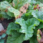 gemuesebeet 1 mitte august 20180813 080019 150x150 - Gemüsebeet planen für Mischkulturen - gartenpraxis, gartenplanung, aktuell