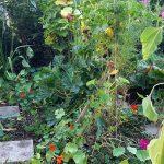 gemuesebeet 2 mitte august 20180813 080027 150x150 - Gemüsebeet planen für Mischkulturen - gartenpraxis, gartenplanung, aktuell
