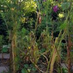 gemuesebeet 4 mitte august 20180813 080035 150x150 - Gemüsebeet planen für Mischkulturen - gartenpraxis, gartenplanung, aktuell