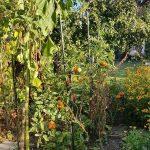 gemuesebeet 7 mitte august 20180813 080058 150x150 - Gemüsebeet planen für Mischkulturen - gartenpraxis, gartenplanung, aktuell