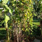gemuesebeet 8 mitte august 20180813 080101 150x150 - Gemüsebeet planen für Mischkulturen - gartenpraxis, gartenplanung, aktuell