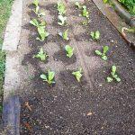 gemuesebeet B mitte august 20180808 084750 150x150 - Gemüsebeet planen für Mischkulturen - gartenpraxis, gartenplanung, aktuell