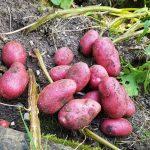 Zahlreiche Kartoffeln Valery liegen auf dem Beet