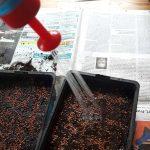 Eine Flasche mit feiner Brause gießt die Schalen zum Sprossen ziehen