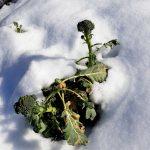 brokkoli garten februar 20190209 104049 1 150x150 - 10. Februar 2019 – Den Feldsalat freischaufeln - gartentagebuch-notizen-gartenimpressionen