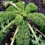 Palmenartig - Grünkohl ist klassische Wintergemüse