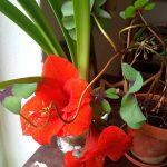 Große rote Becherblüten