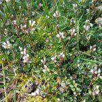 Kleines Pflänzchen mit weißer Blüte