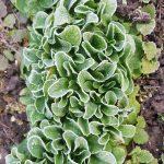 Dicht gesäter Feldsalat mit weißem Frost