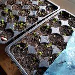 Anzuchtschalen mit kleinen grünen Karottensämlingen