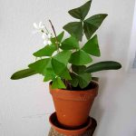 Nahaufname Oxalis Trifolium mit weißer Blüte