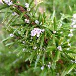 Rosmarinzweig mit kleiner Blüte