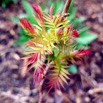 Nahaufnahme eines Zweigs mit der Sibirische Federspiere bunten Blättern